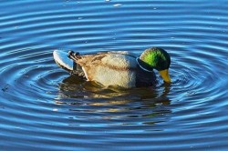 MOJO Rippler Motion Duck Decoy